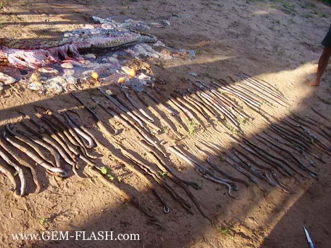 العثور على ثعبان فى الارياف وبداخله 70 ثعبانا