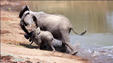 بالصور: صراع قوى بين أنثى الفيل والتمساح