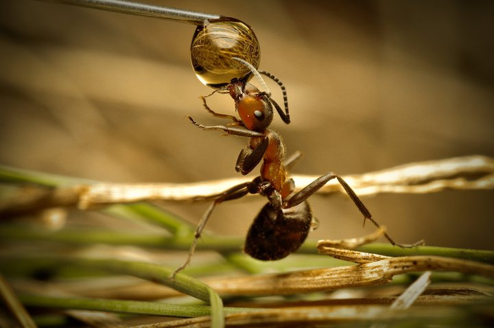 سبحان الله تصوير النملة تشرب من قطرات الندى