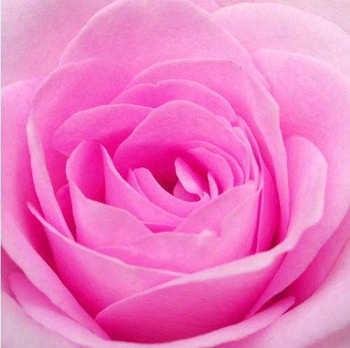 بجميع ألوان الورود