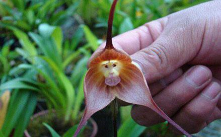 أزهار أوركيد القرد الغريبة