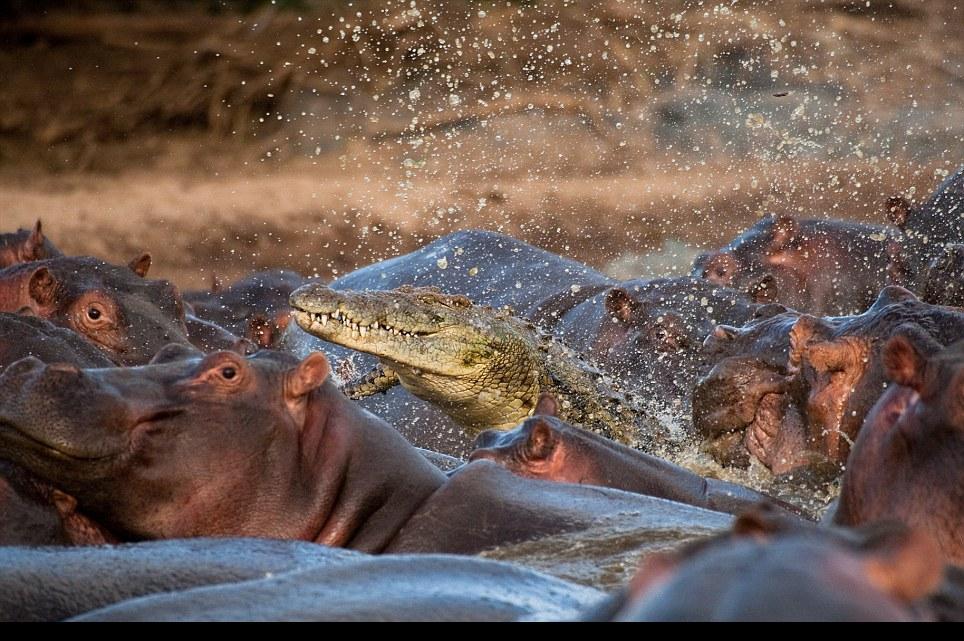 غباء تمساح